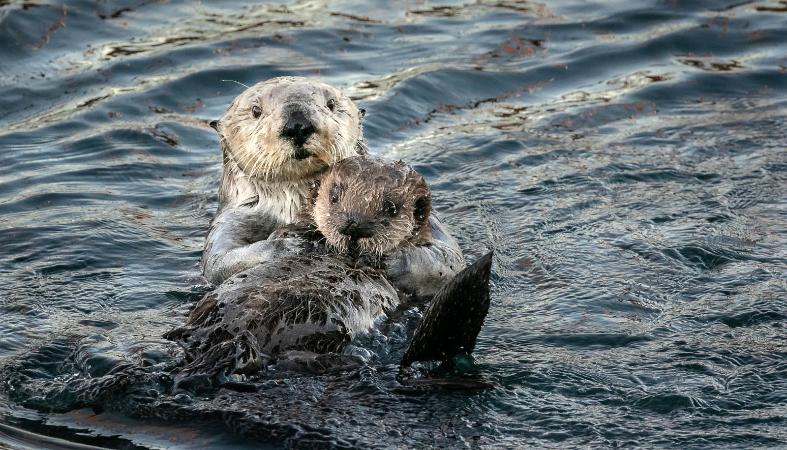 A sea otter and her young - very cute